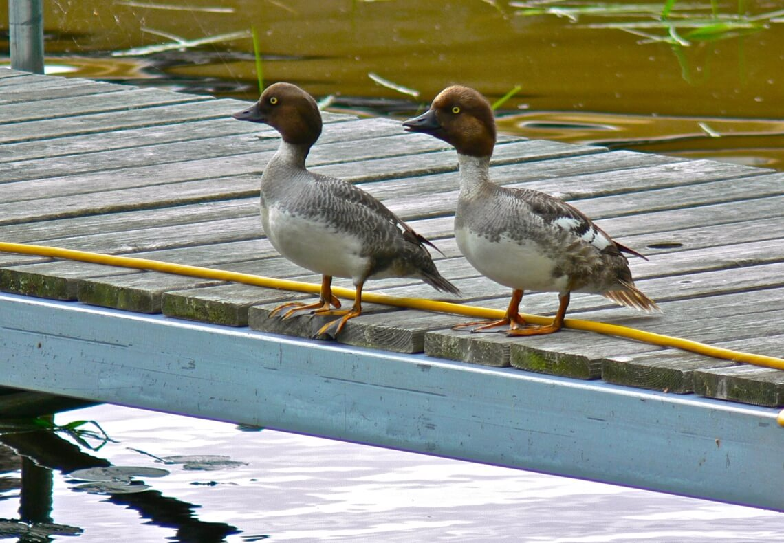Two ducks on the dock at Cut Foot Sioux Resort.