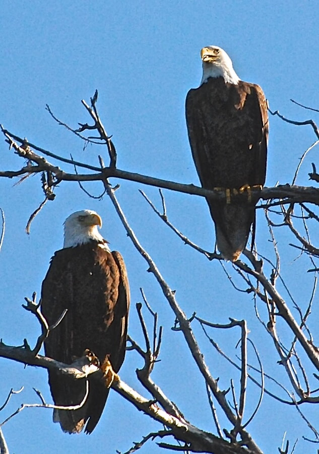 A pair of bald eagles sitting in a tree.